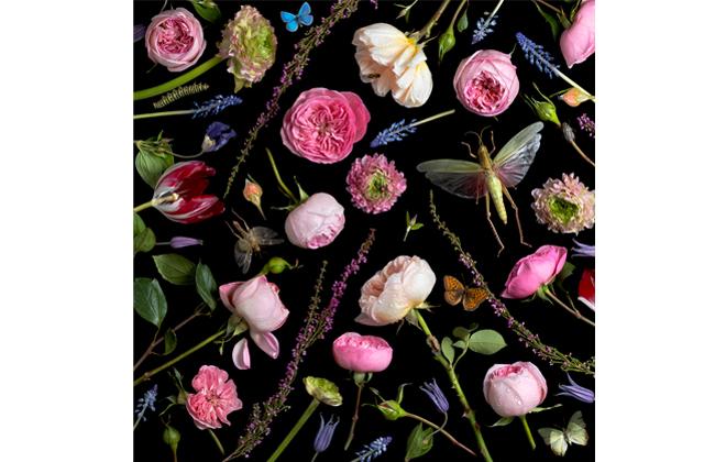Botanical VI, Juliet Roses . 2013